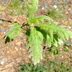 Chêne tauzin (Quercus Pyrenaica)