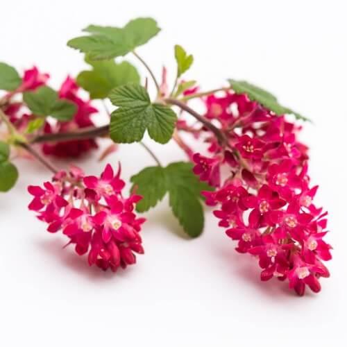 Cassis fleurs (Ribes Sanguineum)