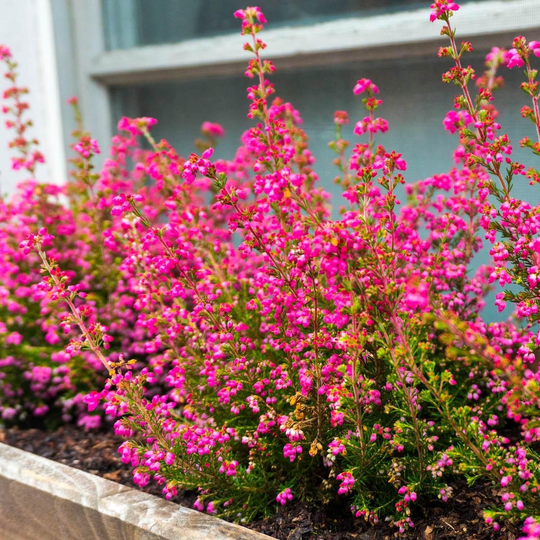 Cassis Fleurs Sanguineum Vente Arbre Et Arbuste Pepinieres