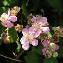 Ronce des bois (Rubus Fruticosus Inermis)