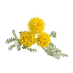 Santoline 'Petit cyprès' (Santolina Chamaecyparissus)