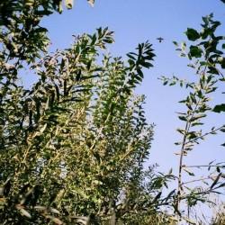 Saule à longues feuilles (Salix Smithiana)