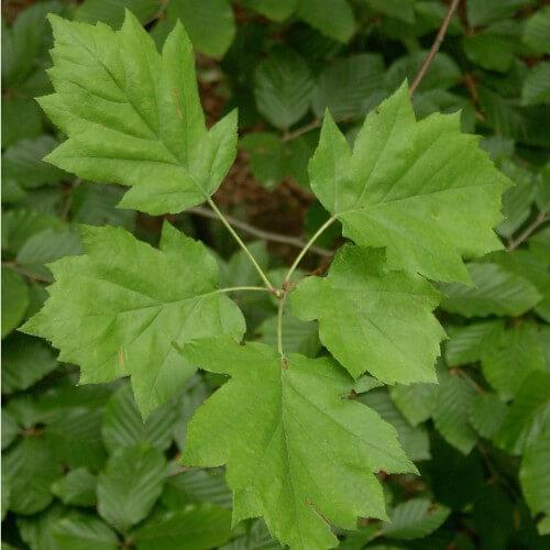 Alisier torminal (Sorbus Torminalis)
