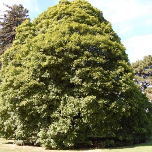 Erable à feuilles d'obier (Acer Opalus)