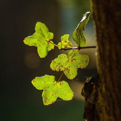 Erable de Montpellier (Acer Monspessulanum)