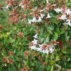 Abélia X Grandiflora - Kaleidoscope