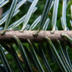 Sapin pectiné (Abies Alba)