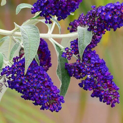 Arbre à Papillons - Buddleia Davidii Black Knight