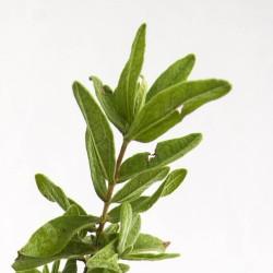 Ciste cotonneux (Cistus Albidus)