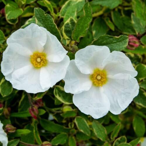 Ciste x corbariensis (cistus corbariensis)