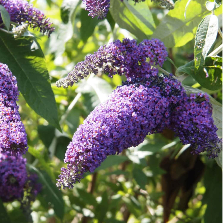 arbre à papillons : vente arbre et arbuste   pépinières naudet