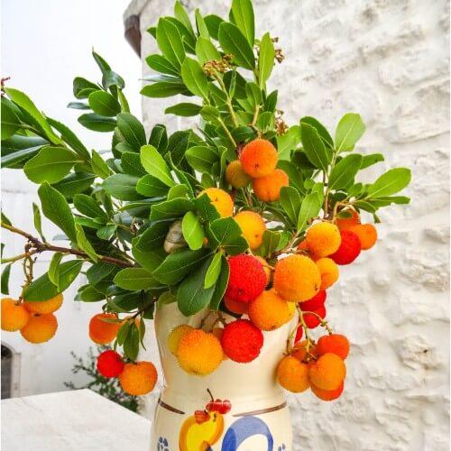 Arbousier ou Arbre aux fraises (Arbutus Unedo)