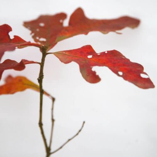 Chêne étoilé (Quercus stellata)