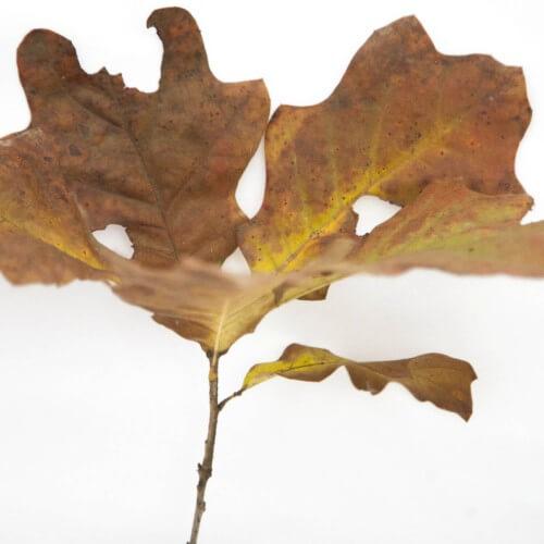 Chêne des teinturiers (Quercus Velutina)