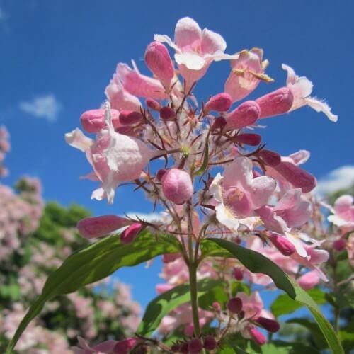 Buisson de beauté 'Pink Cloud' - (Kolkwitzia amabilis)