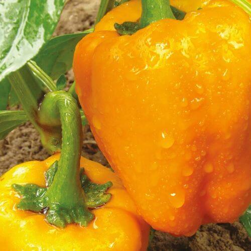 Poivron Orange