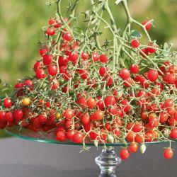 Tomate Mini Rouge