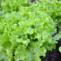 """Salade Verte Batavia """"Dorée de Printemps Model"""""""