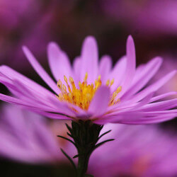 Aster des Alpes - Aster Alpinus 'Happy End'