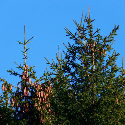 Epicéa commun (Picea Abies)