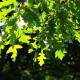Chêne chevelu (Quercus Cerris)