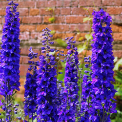 Delphinium excalibur 'Dark Blue/Black Bee'