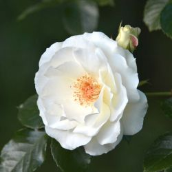 Rosier 'Neige d'Avril'