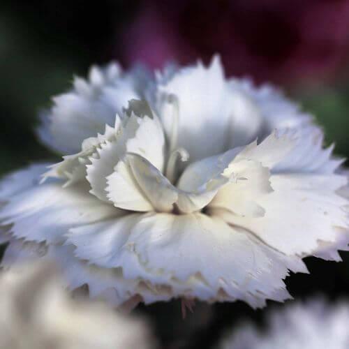 Oeillet 'Haytor White' (Dianthus 'Haytor White')