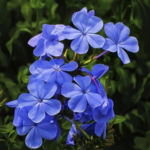 Phlox 'Blue Boy'