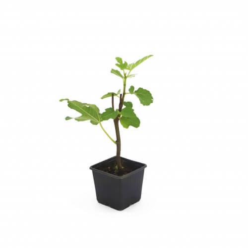 "Figuier Carica ""Goutte d'or"" (Ficus Carica ""Goutte d'or"")"