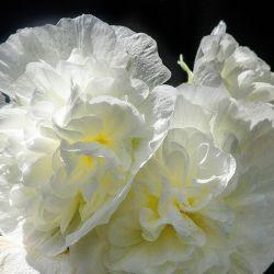 Rose Trémière 'Double Blanc' (Alcea Rosea Chater's)