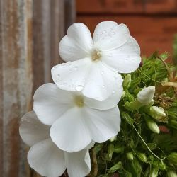 Phlox 'White Delight'