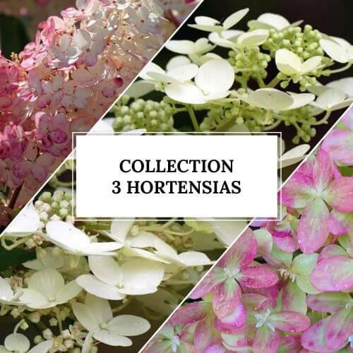 Collection 3 Hortensias