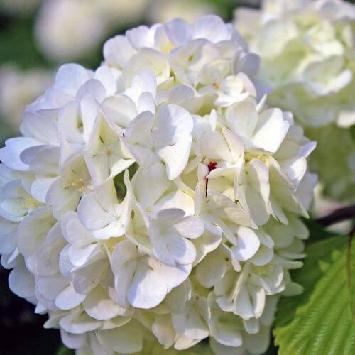Hortensia Paniculé 'Phantom' (Hydrangea Paniculata 'Phantom')