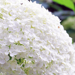 Hortensia 'Annabelle' (Hydrangea Arborescens 'Annabelle')