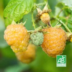 Framboisier Blanc 'Fall Gold' (Rubus Idaeus 'Fall Gold')