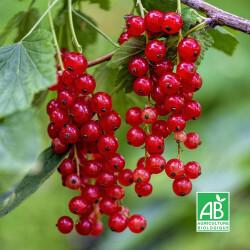 Groseillier à Grappes 'Wilder' (Ribes Rubrum 'Wilder')
