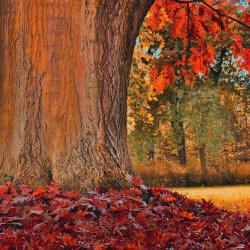 Chêne rouge d'Amérique (Quercus Rubra)