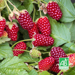 """Hybride mûrier/framboisier (Rubus """"Buckingham"""")"""