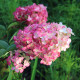 Hortensia Paniculé Fraise Melba® 'Renba' (Hydrangea Paniculata)