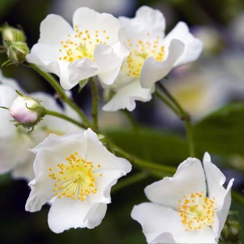 Rose Primprenelle (Rosa Spinosissima)