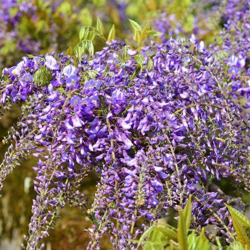 Glycine du Japon 'Violacea Plena'
