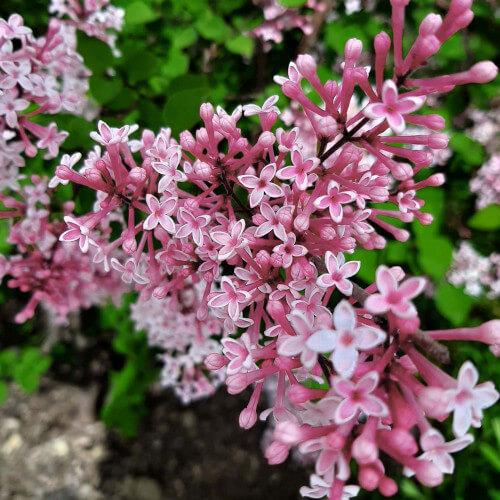 Lilas de Chine 'Superba' (Syringa Microphylla)