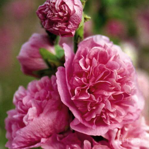 Rose Trémière 'Double Rose' (Alcéa Rosea Charter's Double Rose)