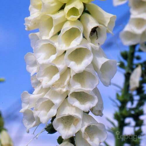 Digitale Blanche (Digitalis Purpurea 'Alba')