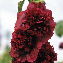 Roses Trémière Charter's Double Pourpre (Alcea Rosea Charter's)