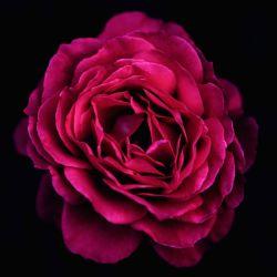 Rosier 'Parfum Honfleur'