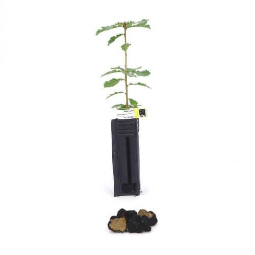 Chêne Pubescent Uncinatum (Quercus Pubescens)