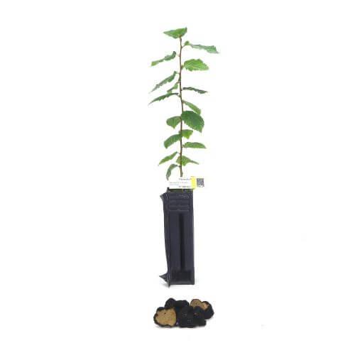 Charme Uncinatum (Carpinus Betulus)