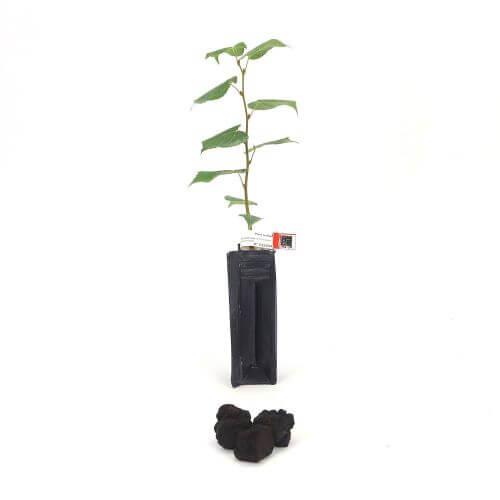 Tilleul des Bois Melanosporum (Tilia Cordata)